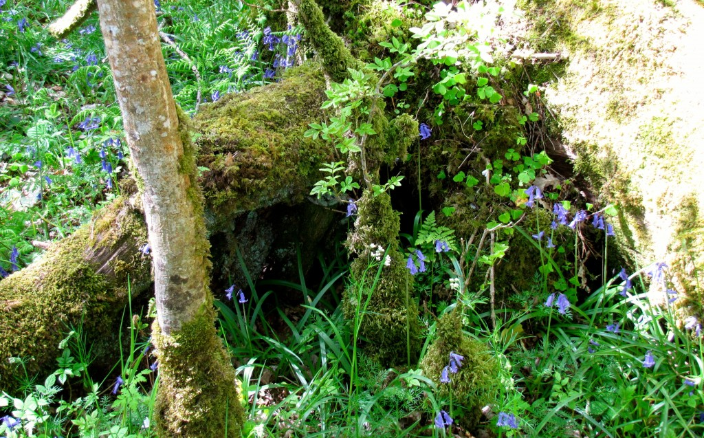 The forest was thick with bluebells and moss, as well as holly bushes. I wasn't able to get a very picture of the holly, but here's a lot of bluebells and moss.