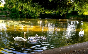 I was lamenting the other day that, instead of swans, the ponds in St. Stephen's Green were full of gulls. Walking home this evening, I passed the pool and saw not only swans, but cygnets, as well. I am relieved.