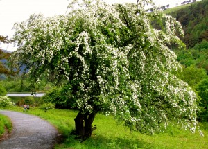 The trail up the valley is very picturesque, with the occasional whitethorn tree.