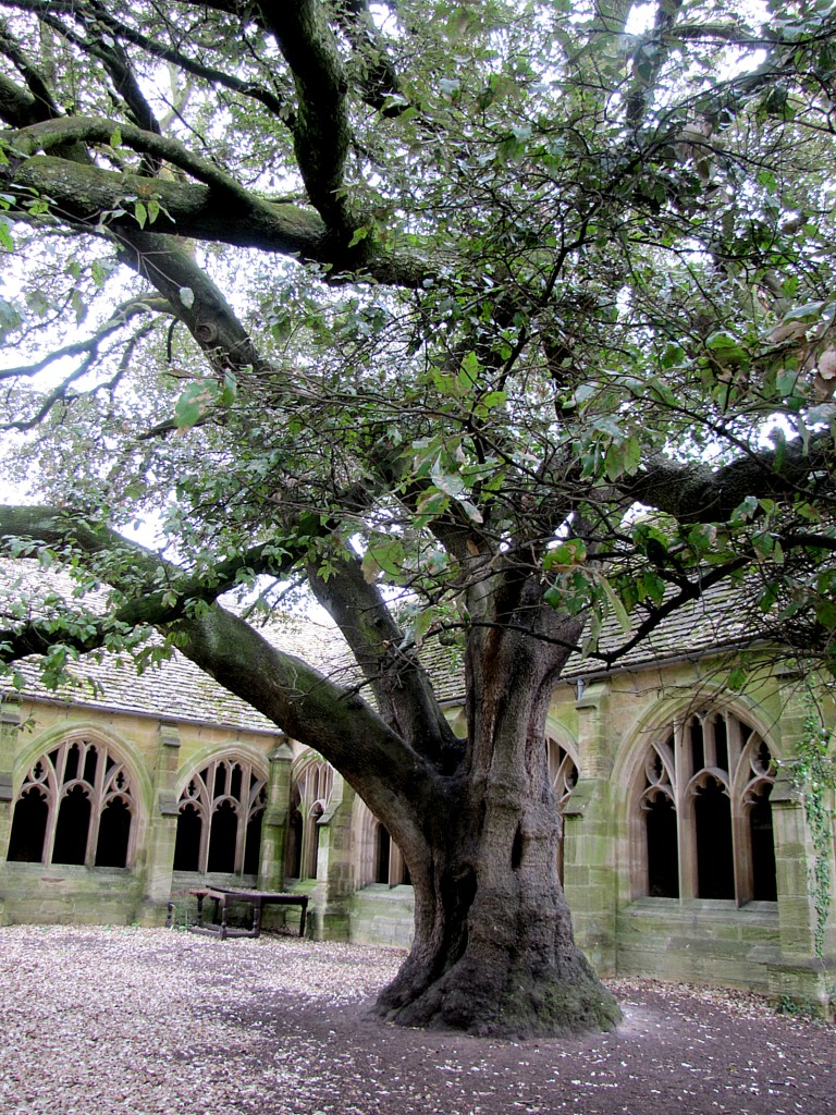 It's the scene where Draco Malfoy is mocking Harry from up in the tree, and then gets turned into a ferret by Mad-Eye Moody. This is an ilex, an evergreen oak variety. It's not used to the cooler climate here in Oxford, and so has leached all the nutrients from the soil around it, leaving a large dead space.