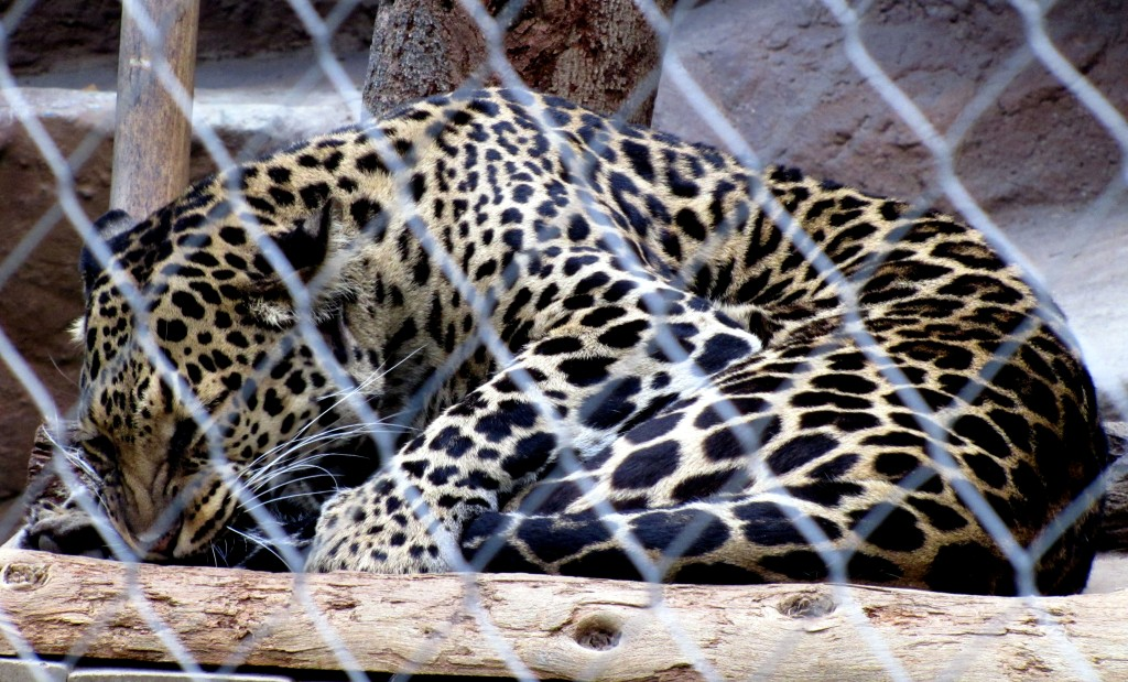 Another sleeping leopard. The one not-sleeping leopard didn't stand still long enough for me to get a decent picture.